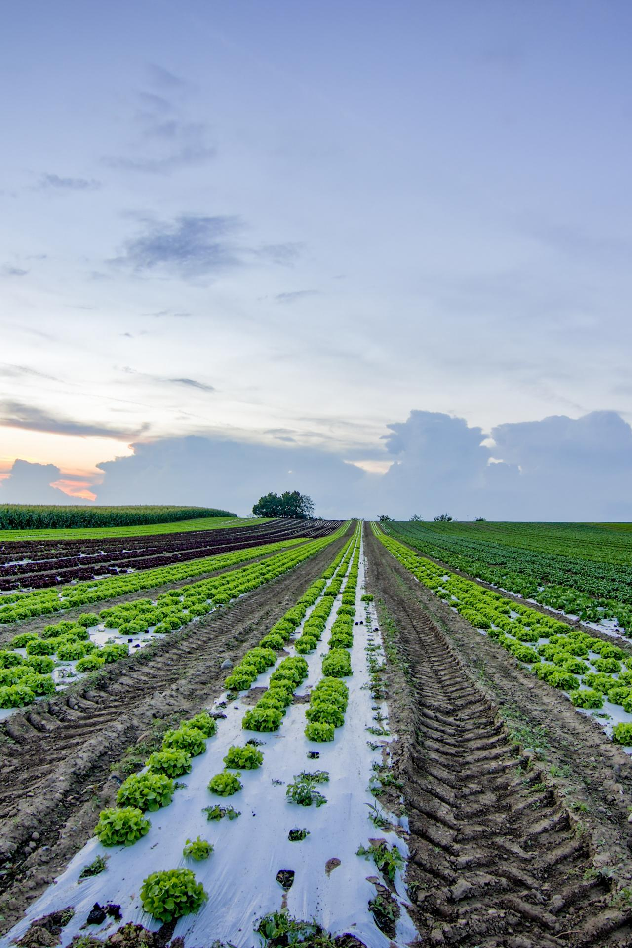 lettuce-growing-in-field