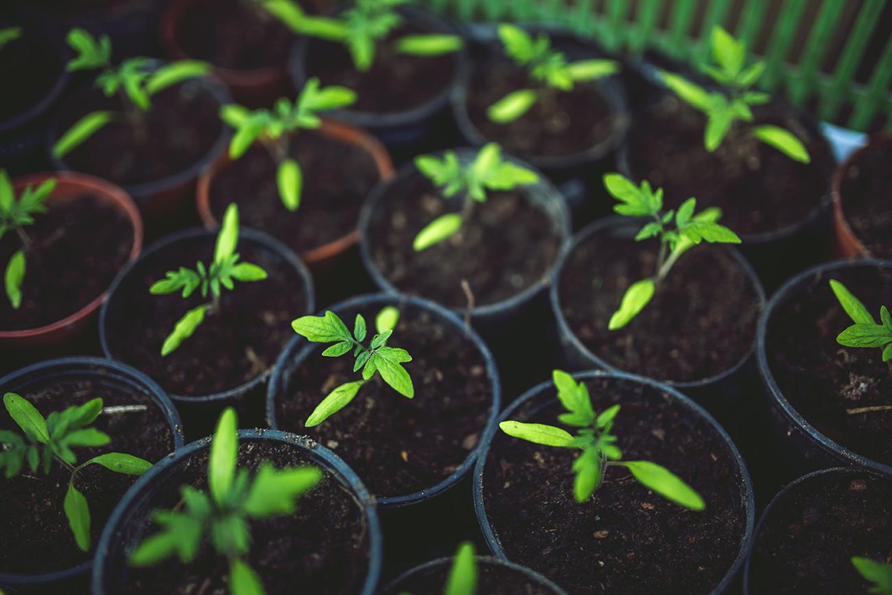 seedlings-growing-in-small-pots
